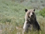 Grizzly_WY